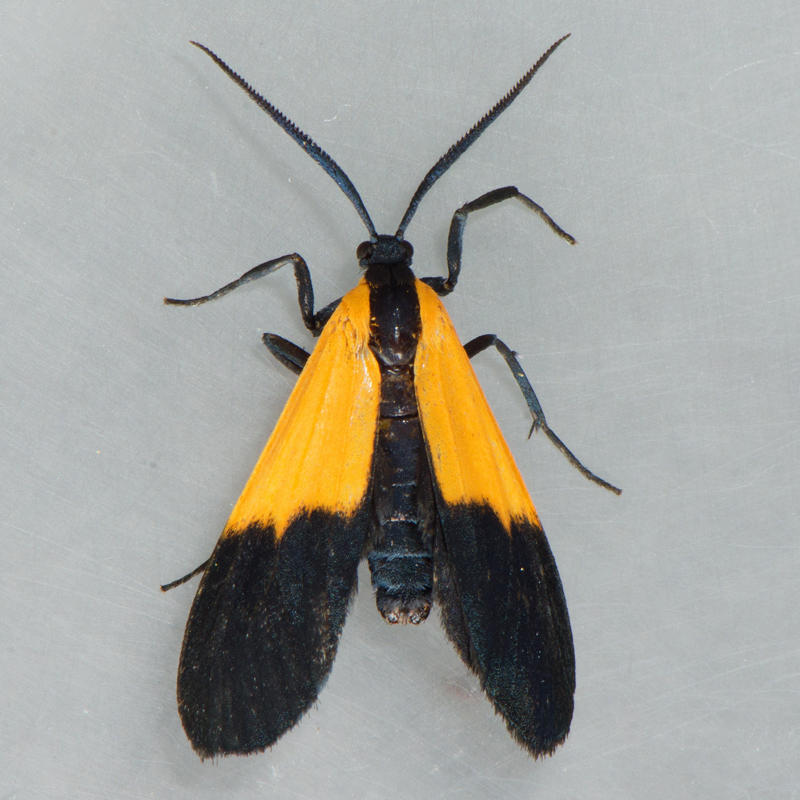 8087 Black-and-yellow Lichen Moth - Lycomorpha pholus