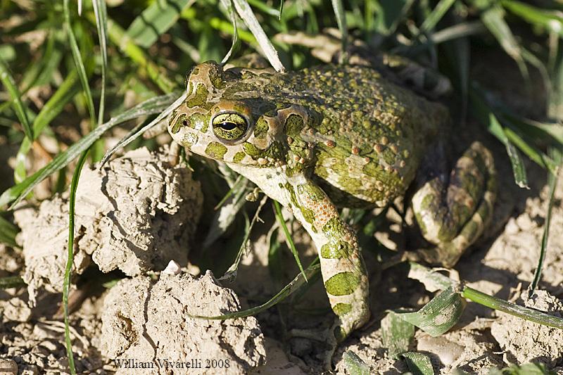 Rospo smeraldino (Bufo virdis)