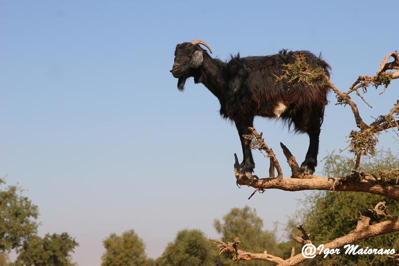 Capra sullalbero di Argan - Goat on argan tree
