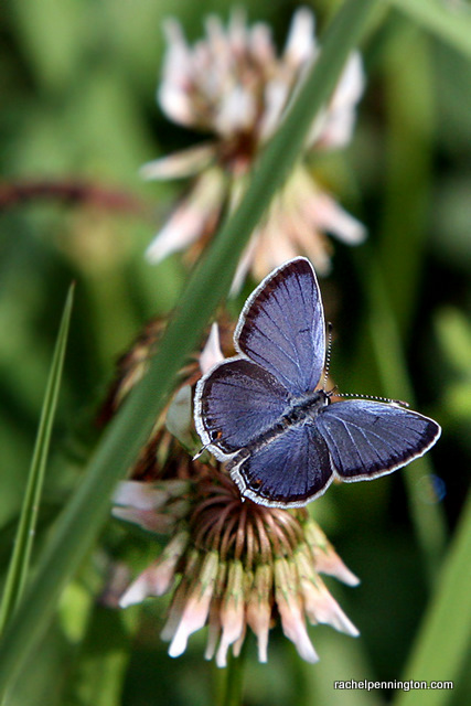 Eastern Tailed-Blue