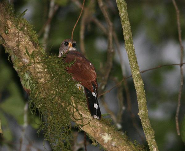 Spot-tailed Sparrowhawk