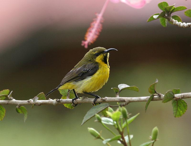 Olive-backed Sunbird