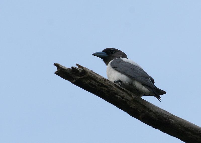 Ivory-backed Wood Swallow