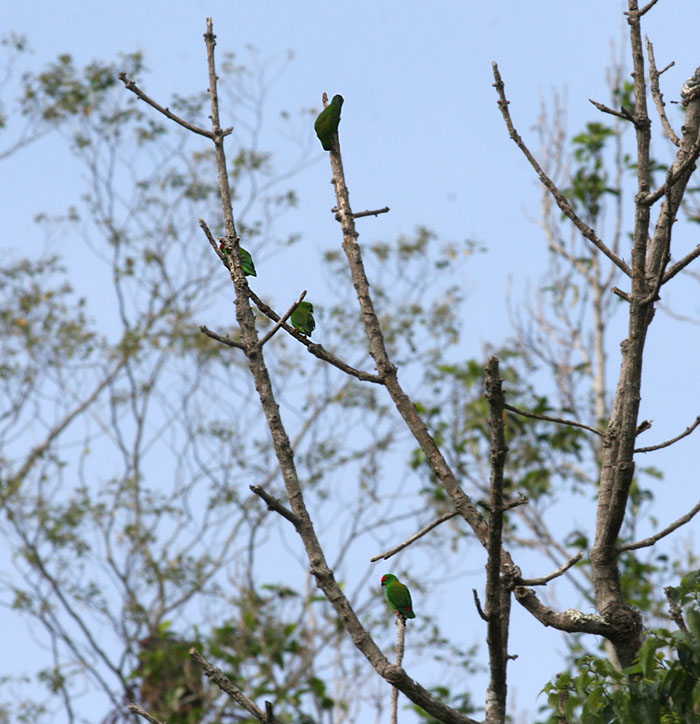 Sulawesi Great Hanging Parrots