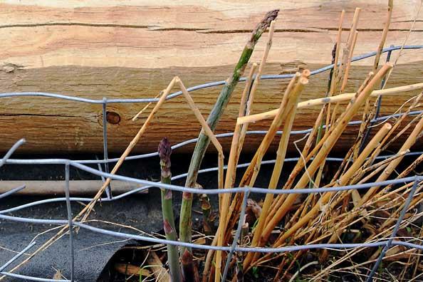 Perennial Asparagus