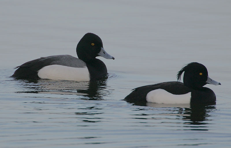 Greater Scaup x Tufted Duck hybrid