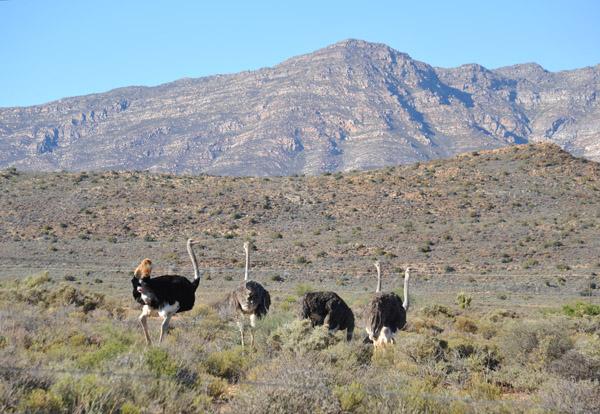 Ostriches, Little Karoo