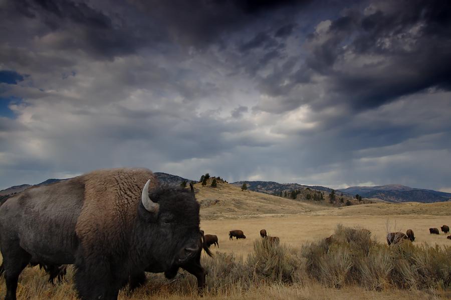 Bison 10