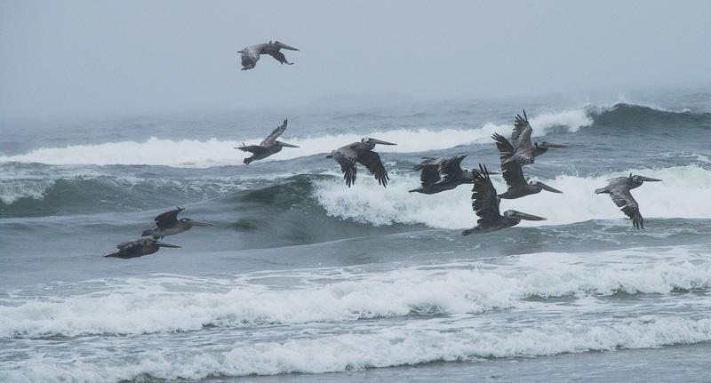 Pelicans at Arcadia Beach, Oregon... 20090812_4307