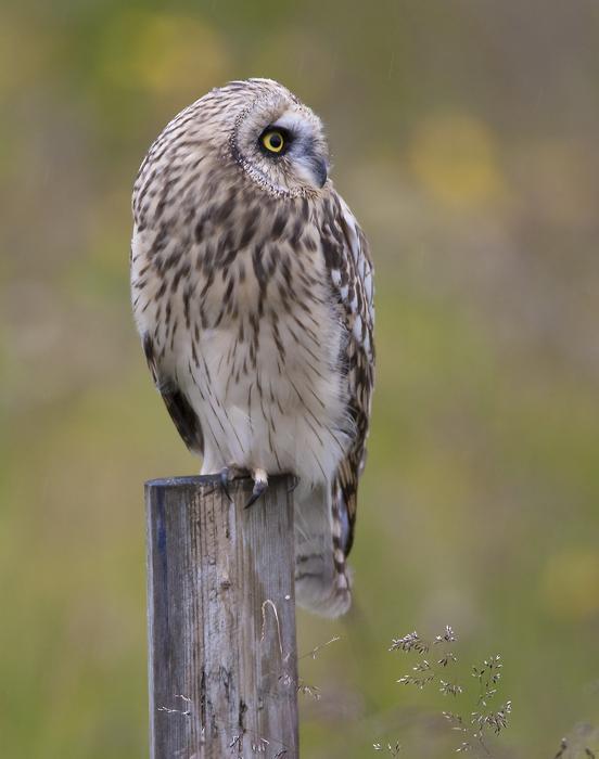 short-eared owl <br> velduil <br> Asio flammeus