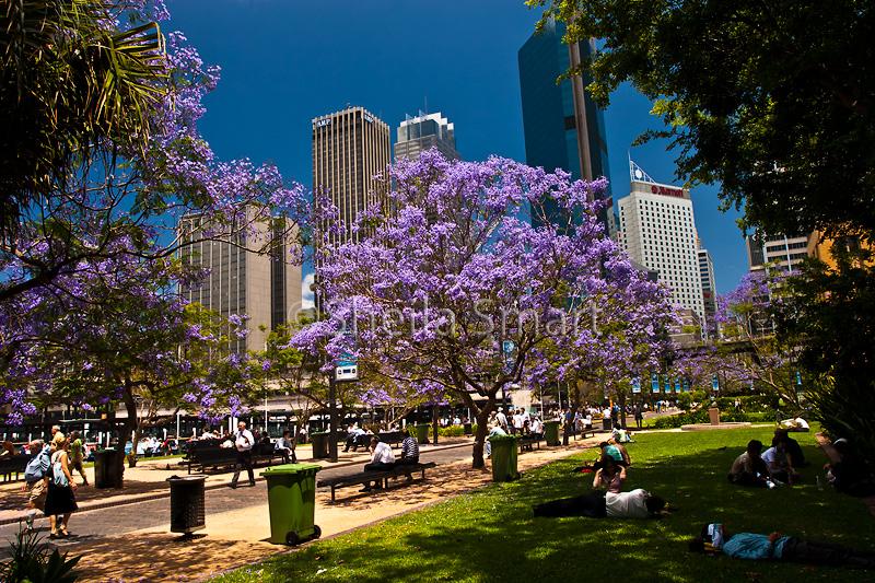 Jacaranda at Circular Quay, Sydney