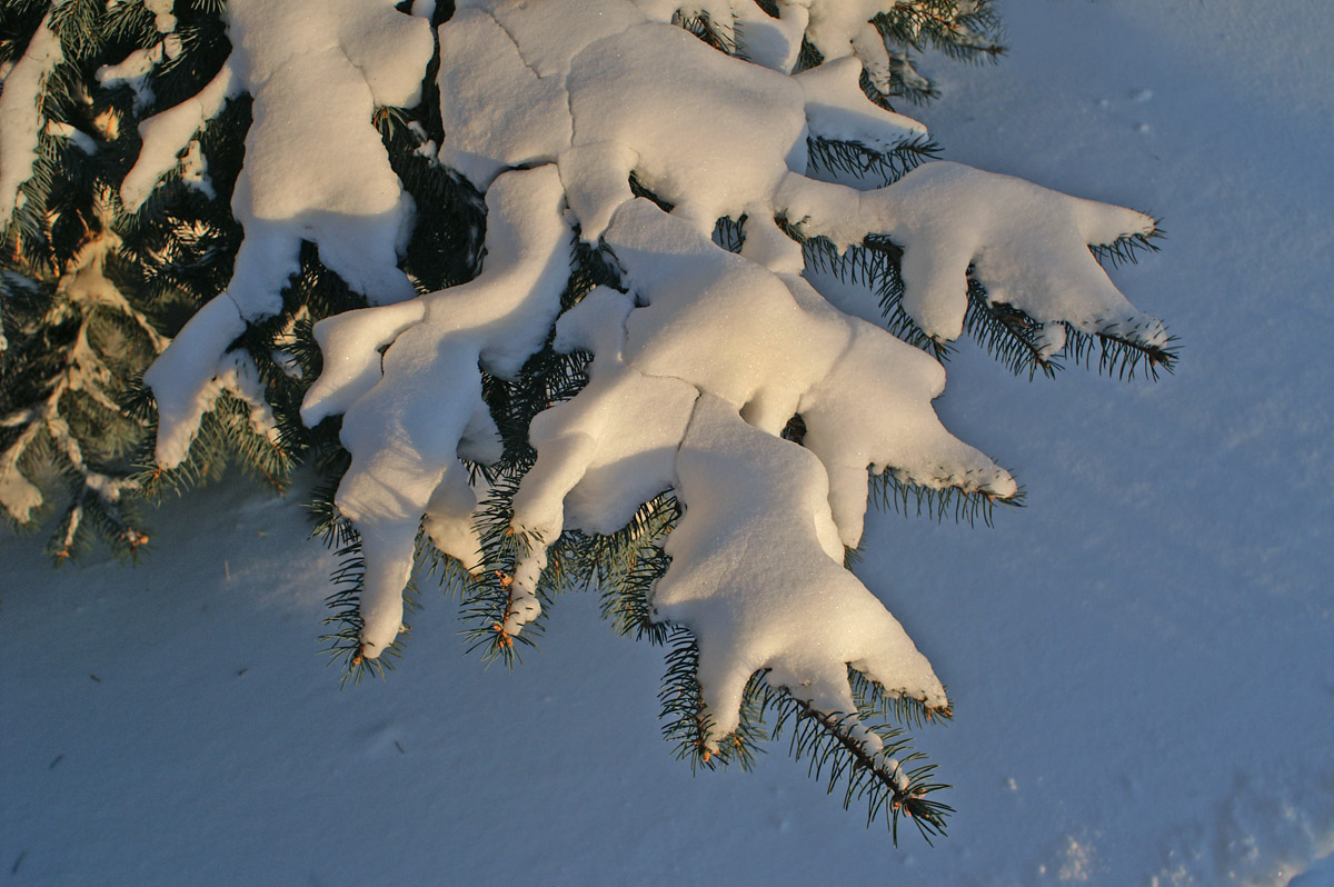 Snowy Spruce 2244.jpg