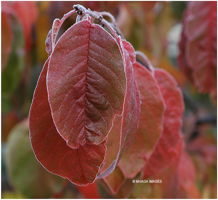 Frost on Plum Leaves