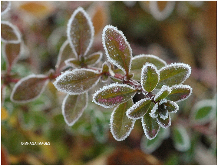 Frosted Thyme