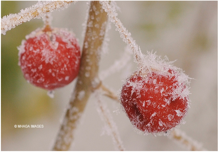 Frost on Asparagus Seeds
