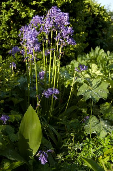 Spansk scilla (Hyacinthoides hispanica)