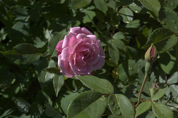 Rosa chinensis Old Blush