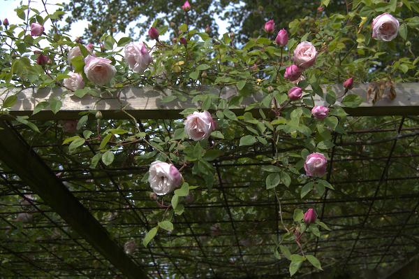 Rosa Arvensis Splendens  England før 1835