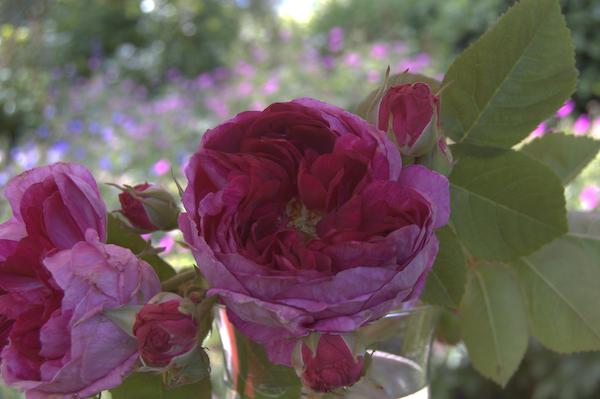 Rosa bourbonica Great Western (Laffay 1840)