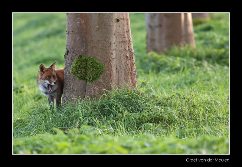 0868 fox looking behind tree