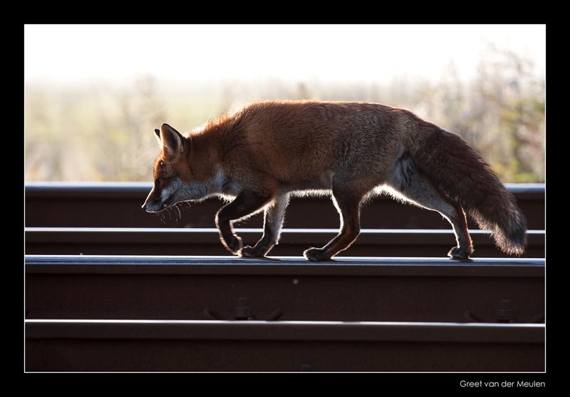 1121 fox on rails