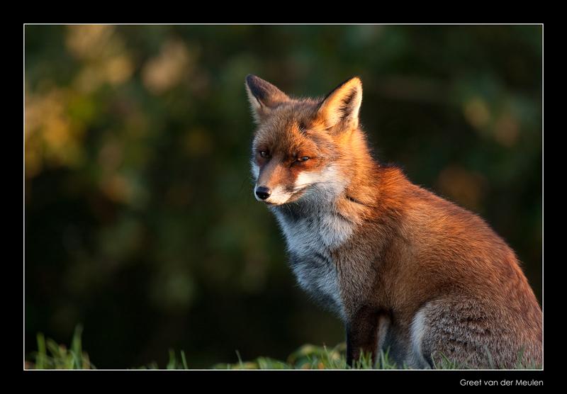 1224 fox in eveninglight