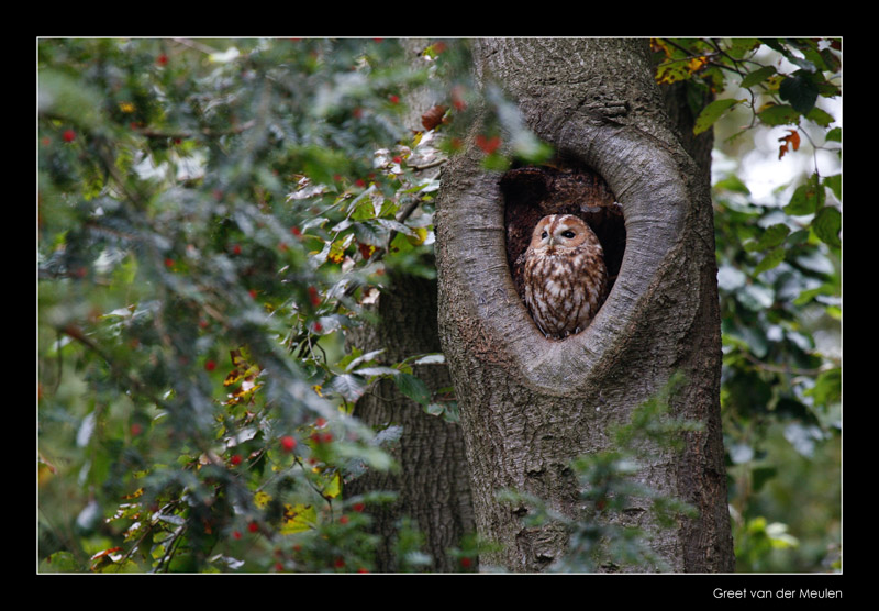 7633 tawny owl