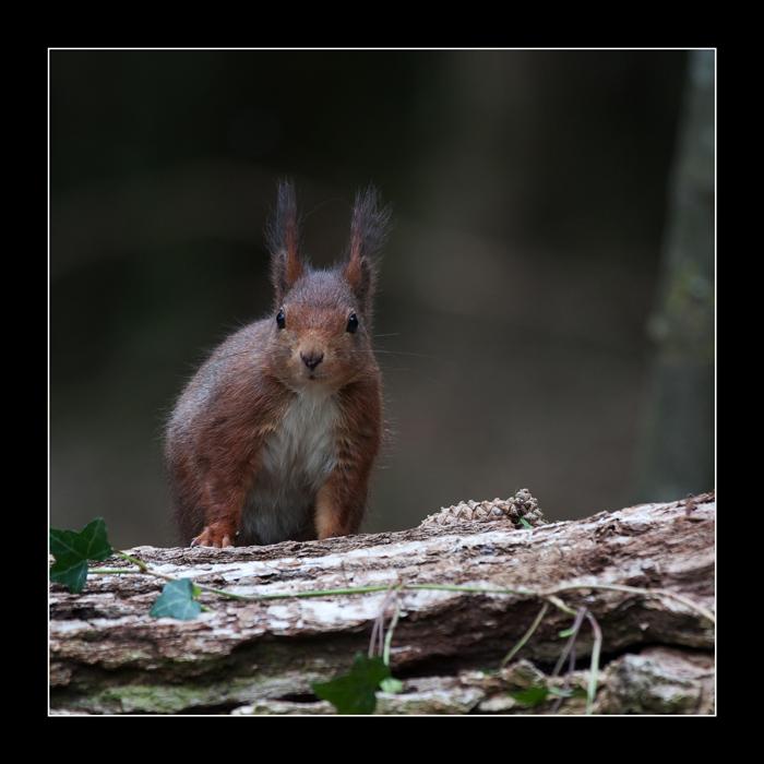 5742 red squirrel / eekhoorn