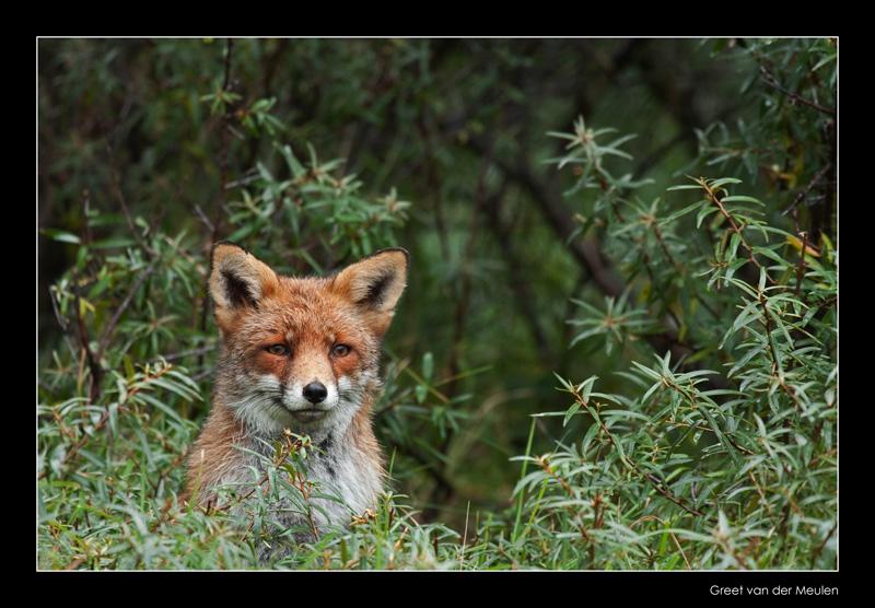 0023 fox