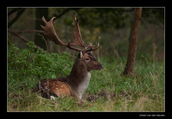 0343 fallow deer / damhert