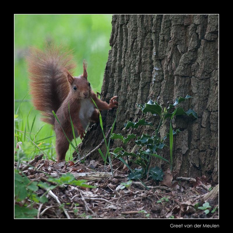 3855 red squirrel / eekhoorn
