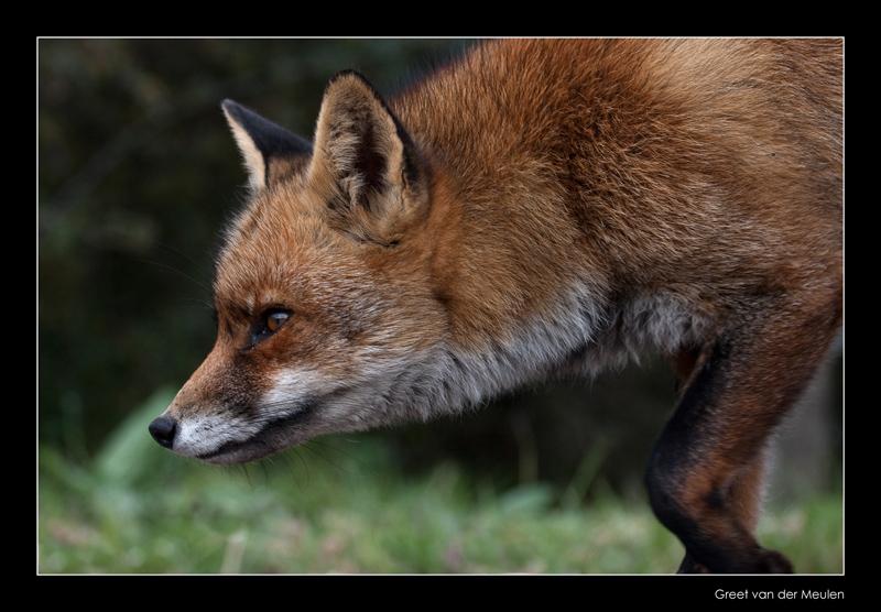 1742 fox