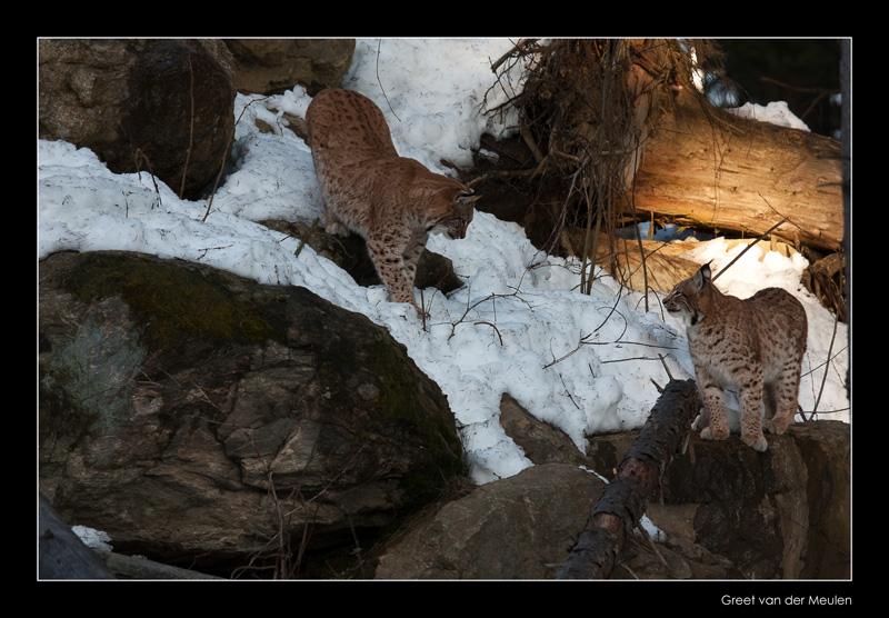 8131 lynxes (C)