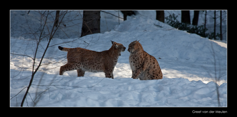 7984 greeting lynxes (C)