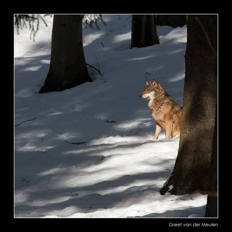 0185 wolf sitting between trees (c)