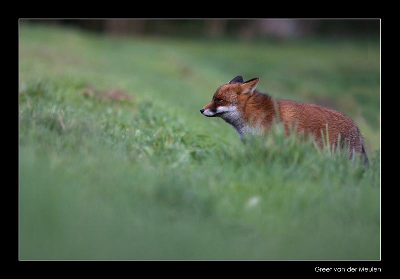 2569 fox in grass