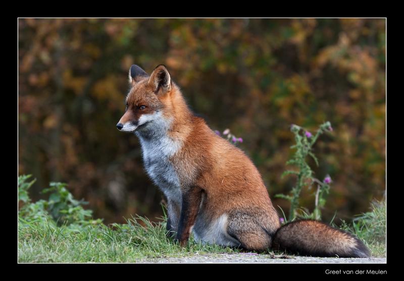 3250 fox in autumn