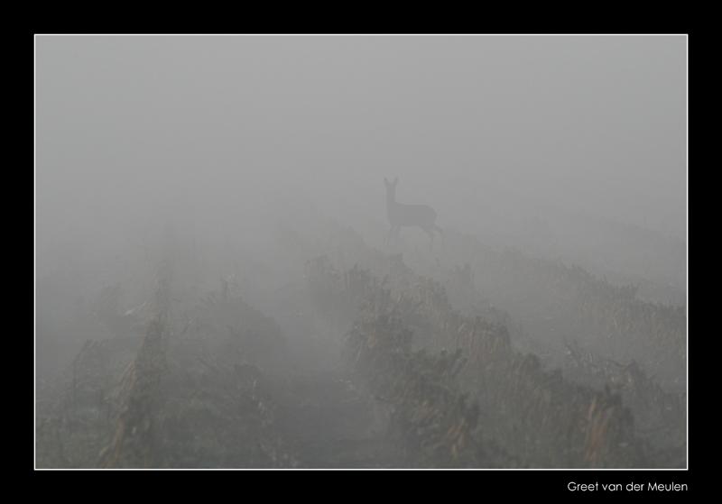 1538 silhouet of roe in fog