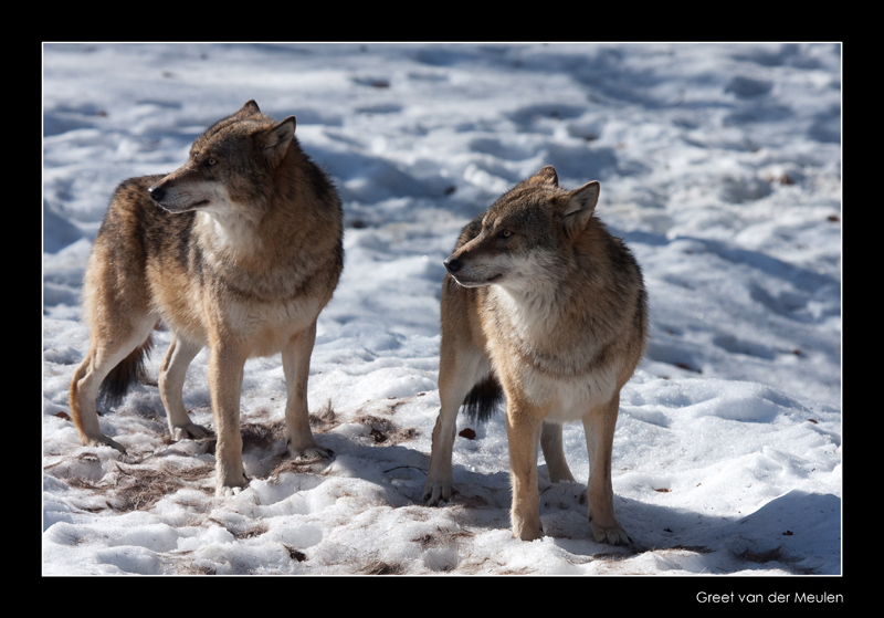 7310 wolves (c)