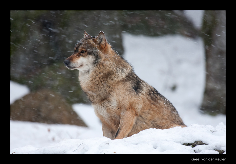 9183 wolf in falling snow (c)