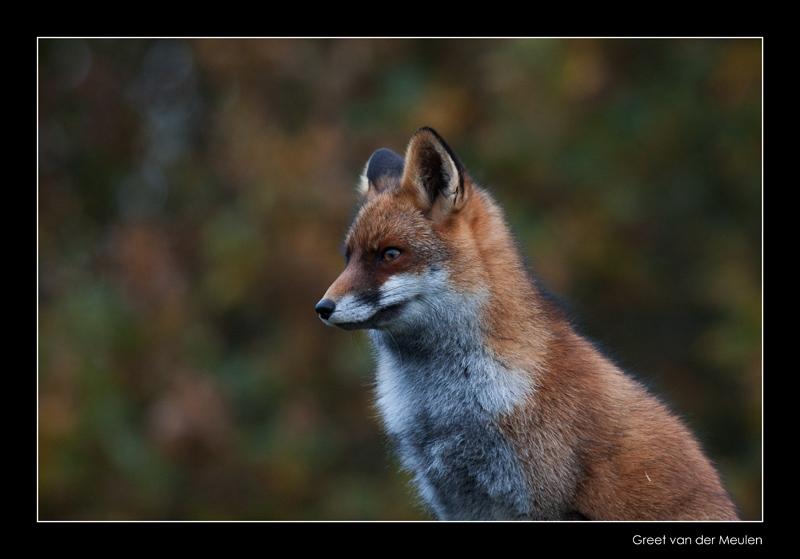 3448 fox in autumn