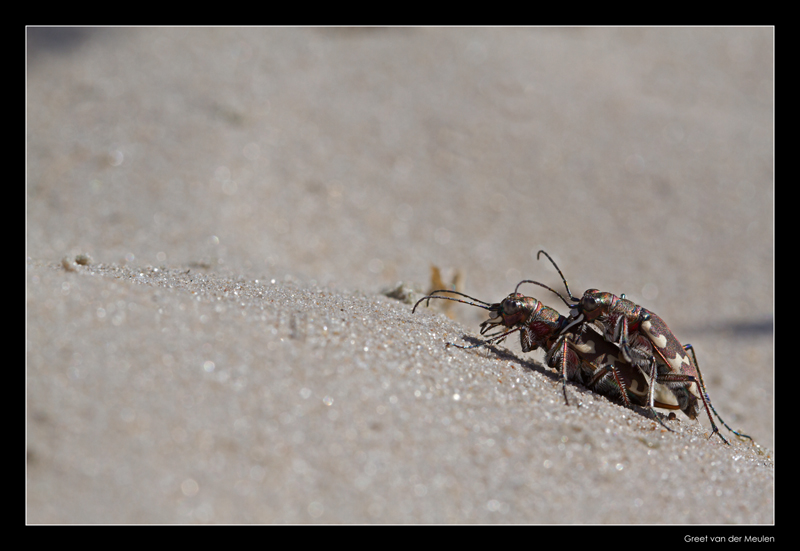 3996 Nothern dune tiger beetles copulating