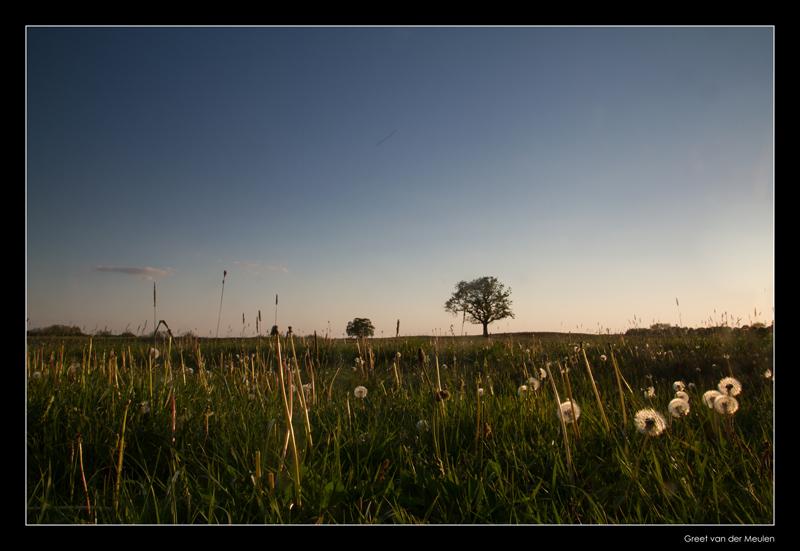 4120 eveninglight on dandelions