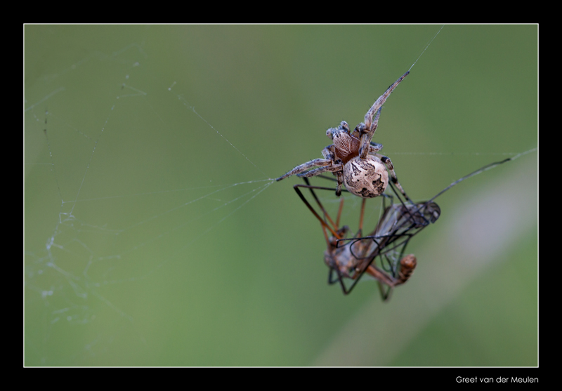 1382 spider with cranefly