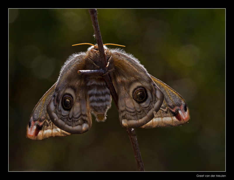 5675 emperor moth