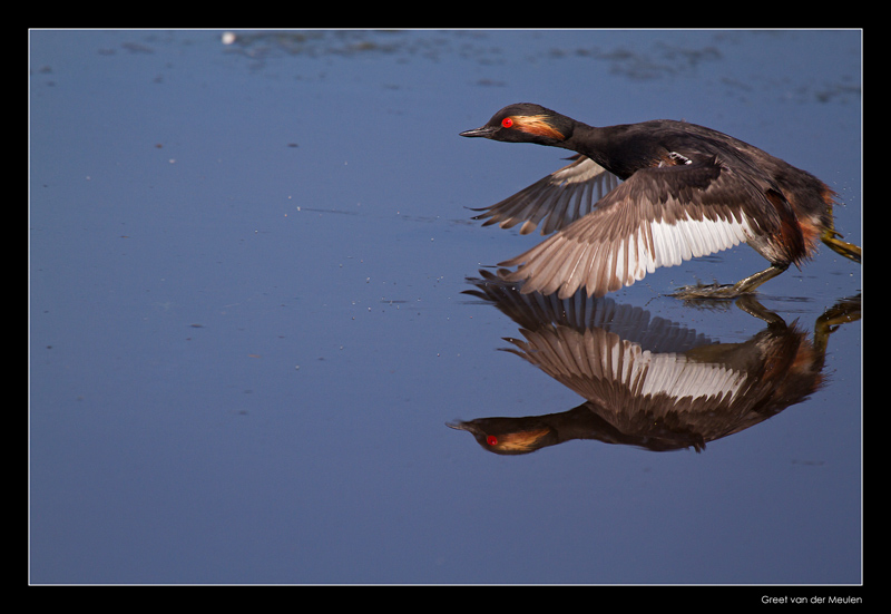 8827 running black-necked grebe