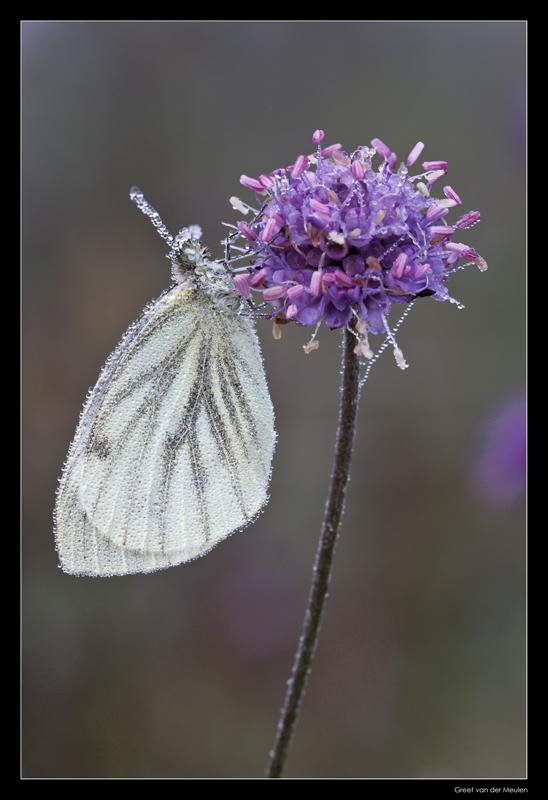 1106 veined white in dew