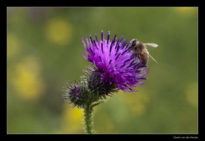 5077 bee on thistle