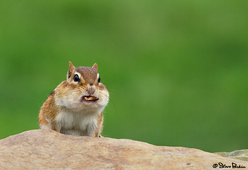 Chipmunk With Food Hanging Out