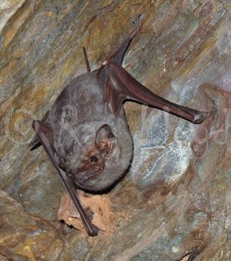 Common Sheath-tailed Bat